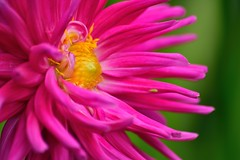 dahlia (doods-mostly off for now) Tags: dahlia plant yellow green garden pink thebestofmimamorsgroups flowerarebeautiful excellentsflowers macroelsalvador