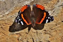 Admiral (Vanessa atalanta) (Hugo von Schreck) Tags: admiral vanessaatalanta schmetterling butterfly falter macro makro insect insekt hugovonschreck outdoor tamronsp90mmf28divcusdmacro11f017 canoneos5dsr fantasticnature onlythebestofnature greatphotographers