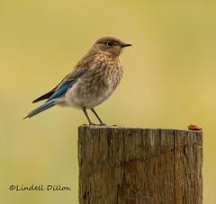 Western Bluebird (Lindell Dillon) Tags: westernbluebird juvenilebluebird thrush nature colorado pagosasprings lindelldillon