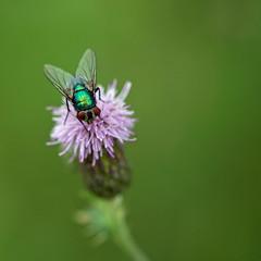 Vliegje (Geziena) Tags: insect vlieg closeup macro sigma 150mm bokeh dof nikon d600 natuur