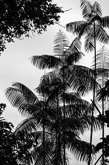 _NGE7818.jpg (Nico_GE) Tags: selvahumedatropical colombia sancipriano pacifico comunidadesafro valledelcauca co