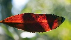 RedLeaf I (Joe Josephs: 2,861,655 views - thank you) Tags: macrophotography macro microphotography micromicrophotographyplantphotographyjoejosephsphotographynikon california forests cambriacalifornia cambria californiacoast plantphotography joejosephsphotography joejosephs copyrightjoejosephsphotography