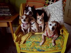 Pack + 1 (EllenJo) Tags: pentaxqs1 pentax harrison august10 2016 ellenjo ellenjoroberts dogs pets 5 ivan floyd simon hazel five animals houseguest chihuahua chiweenie bostonterrier miniaturepinscher minipin minpin olddogs youngdogs thepack yellowchair livingroom home