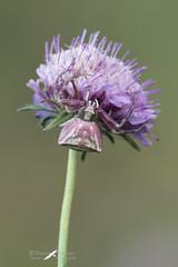 Mimetismo (mauro.santucci) Tags: thomisusonustus thomisus ragni spiders ragnogranchio mimetismo mimicry aracnidi