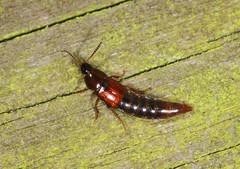 Rove Beetle (Prank F) Tags: rspb thelodge sandy bedfordshireuk wildlife nature insect macro closeup beetle rove mycetoporus
