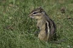 Chipmunk_1150 (Kerry. Williams - Amateur) Tags: chipmunk borealforrest manitoba canada lakewinnipeg