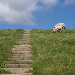 Zwei Schafe auf dem Deich (Teelicht) Tags: butjadingen deich deutschland eckwarden germany lowersaxony niedersachsen radtourwilhelmshavenhamburg schaf dike sheep