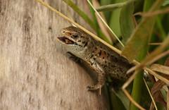 Common Lizard( Lacerta vivipara). (Sandra Standbridge.) Tags: reptile animal commonlizard lacertavivipara eating dinner swallowing outdoor wildandfree insect grass log england