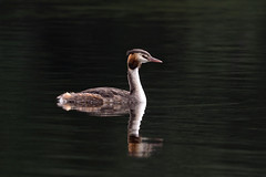 Great Crested Grebe... (klythawk) Tags: greatcrestedgrebe podicepscristatus divingduck water reflection summer nature earlysunlight green brown grey orange black white olympus em1 omd 300mm 14xtc marinalake colwickpark nottingham klythawk