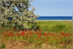 Poppies at the Black Sea (T.S.Photo (Teodor Sirbu)) Tags: sea poppies nex 3 vivitar 70150