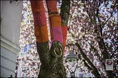 Bonn-Kirschbluete-17 (kurvenalbn) Tags: deutschland bonn pflanzen blumen nordrheinwestfalen frühling kirschbluete