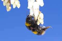 Bombus terrestris queen (richardbecker.photography) Tags: wales insect feeding bees insects bee bumblebee feed welsh bumble bombus pieris terrestris