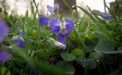 I (heart) biodiversity (severalsnakes) Tags: flower yard garden purple pentax lawn violet petal missouri bloom sedalia woodviolet mx1 saraspaedy