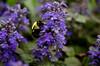 115 | 365 Frame Filled/Close Up (bobbisharp) Tags: flowers macro nature closeup foliage pollenating beemacro framefilled