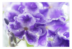 Drenched (judith511) Tags: purple raindrops odc duranta geishagirl