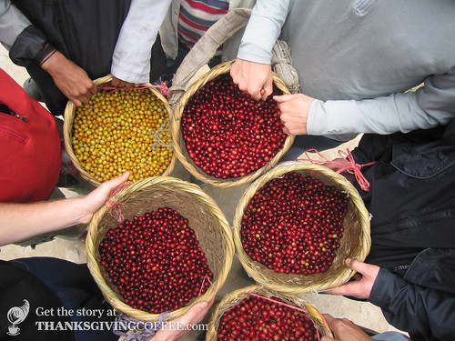 Separated Coffee Cherries