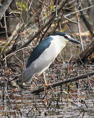 IMG_5521-1 Black-crowned Night-Heron (John Pohl2011) Tags: bird canon john waterfowl 100400mm wading pohl t4i 100400mmlens canont4i