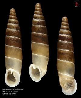 montenegrina janinensis grece 15mm1
