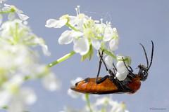Bug. Explore. (glemoigne) Tags: macro bug insect brittany bretagne breizh 29 insecte finistère bretaña scarabée logonna penarbed platinumheartaward logonnadaoulas glemoigne gilbertlemoigne