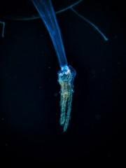 P4096771 (Jeannot Kuenzel) Tags: leica blue sea macro water port photography mediterranean underwater alien under deep scuba diving olympus malta zen supermacro moods asph f28 45mm underwaterworld s2000 dg 240z underwaterphotography extrememacro ois jeannot inon macroelmarit underwatercreature kuenzel z240 maltaunderwater underwatermacro underwateralien supermacrophotography ucl165 wwwjk4unet jk4u epl5 maltaunderwatermacro maltaunderwaterphotography bestmaltaunderwaterpictures maltamacro maltascubadiving underwatersupermacro jeannotkuenzel aliensofthedeepblue superextrememacro aliensofthesea