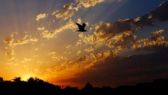 Sunset at the city with a dove (fpaulo2k1) Tags: keywords avian beatuty bird cloud dramatic flying idylic landscape midair nature nopeople orange outdoors outline scenincs silhouette sky spreadwings sun sunset tranquility inthecity