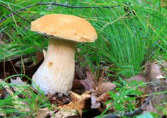 king bolete (Boletus edulis) in Winneshiek Co. IA 854A3574 (lreis_naturalist) Tags: king bolete boletus edulis edible choice winneshiek county iowa larry reis