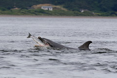 Bottlenose Dolphin - Moray Fith (Ally.Kemp) Tags: moray firth dolphins bottlenose wild free salmon fishing hunting feeding scottish scotland fortrose blackisle highlands
