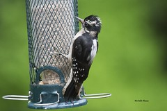 Wild child (lamoustique) Tags: downywoodpecker picmineur picoidespubescens salmoncreek vancouver washington dryobatespubescens
