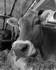 Betsy Says Hi! (farmergregphoto) Tags: brownswiss cow
