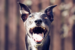 Eyes on the prize (David Sumpton) Tags: pet greyhound forest rescue adopted exracer dog scottishgreyhoundsanctuary black canon 70d sighthound retiredracer dogportrait ears treat light fence