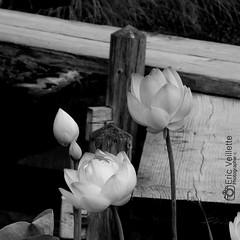 Lotus (ericveillette) Tags: bridge flowers portrait blackandwhite bw white black flower art nature fleur fleurs plante garden square photography gris photo noir photographer photographie lotus jardin pont bouquet romanesque lys nnuphar parc blanc bonheur verdure verger sentimental asiatic asiatique orangerie sensible noire photographe gerbe potager bourgeon bouton heureux ppinire passerelle romantique enclos nympha serr ouche blackewhite fleurette jaunet closerie passionn exalt idaliste nlombo