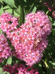 I  flowers (sharonhorning) Tags: heart flowers bush blooming blooms tiny pink