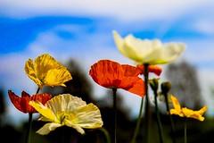 Morning poppies (frankshepherd2) Tags: yellow petal plant bloom flower poppy canon blur flora poppies colour lightroom fleur