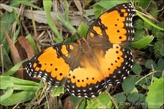 IMG_9721 Precis octavia (Rainy Season Form) (Raiwen) Tags: africa animal guinea butterflies lepidoptera westafrica savanna nymphalidae nymphalinae precis precisoctavia junoniini moyenneguine