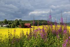 raps field in Vestby, Norway (Ingunn Eriksen) Tags: canolafield vestby norway raspker akershus fieldsofgold field landscape summer farmland willowherb geiterams flowers