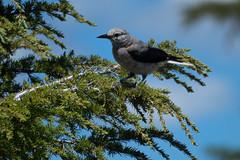 Crater Lake, Oregon (bcdixit) Tags: craterlake craterlakenationalpark nationalpark lake wildlife birds oregon cascaderange cascades nikond750 d750