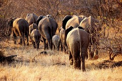 Botswana (ClaDae) Tags: ngc botswana mashatu elephants natur nature outdoor wild wildlife africa afrique gamedrive canon travel voyage reise world image photo colors northerntuligamereserve wow planetadventure worldtravel worldtravelling