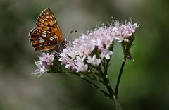 Hamearis (lincerosso) Tags: farfalle butterflies hamearislucina primula montagna mountanins raduredibosco luce valerianatripteris bellezza armonia rarit