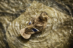 Bird's Eye View (flashfix) Tags: july232016 2016 2016inphotos nikond7000 nikon ottawa ontario canada 55mm300mm mallard duck water ripples rock nature mothernature rideauriver mallardduck anasplatyrhynchos