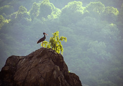 Stork Mountain (Sonya Gencheva) Tags: blackstork stork birds widlife nature mountain cliff bulgaria balkan