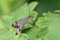 Scorpian Fly 206/366 Challenge (After-the-Rain) Tags: scorpianfly panorpacommunis 365challenge july2016 northumberland