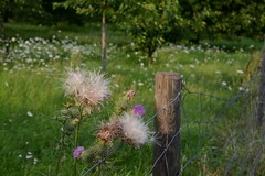 a meadow | Eine Wiese (rainbowcave) Tags: fence sunny flowers meadow evening zaun pfosten wiese blumen sonnig abendsonne distel mariendistel milkthistle thistle