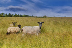 Follow the leader (jamietaylor2127) Tags: ewes livestock sky wool nature sigma30mm mirrorless ngc