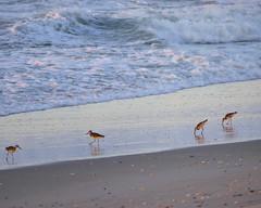 Waders (shama rama) Tags: nc northcarolina surfcity topsail beach sunrise