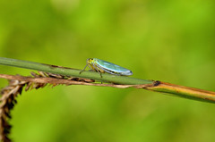 Leafhopper (rayc6779) Tags: froghopper d7000 trenchwood cicadellaviridis