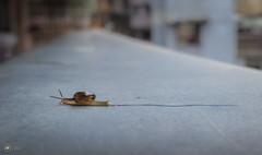 What a Drag (Sid da' Cool) Tags: molluscs draging gastropod gastropodmolluscs gogalguy landsnail macro sliding snail terrestrialpulmonategastropodmolluscs virar maharashtra india in
