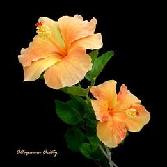 hibiscos/Hibiscus (Altagracia Aristy Sánchez) Tags: laromana quisqueya repúblicadominicana dominicanrepublic caribe caribbean caraïbe antillas antilles trópico tropic américa altagraciaaristy fujifilmfinepixhs10 fujihs10 blackbackground fondonegro sfondonero hibisco hibiscus cayena fujifinepixhs10