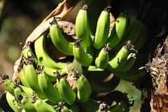 (E.Hunt.) Tags: banana fruit green ripe bunch bananas tree peru tropical