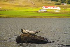 Mr. Seal (Matt Champlin) Tags: iceland seal wildlife wild fjords travel fun exotic summer sea ocean seals canon 2016