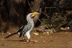 Calao bec jaune (pigosselin) Tags: afrique animaux krugerpark